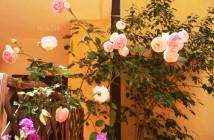 rose pausacaffè (25)