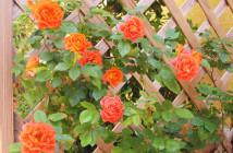 rose pausacaffè (27)