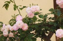 rose pausacaffè (3)