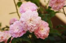 rose pausacaffè (4)