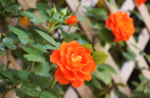 rose pausacaffè (5)