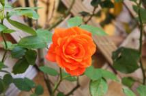 rose pausacaffè (6)