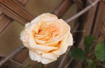 rose pausacaffè (7)