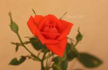 rose pausacaffè (8)