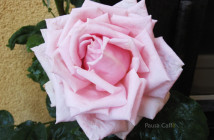 rose pausacaffè (9)