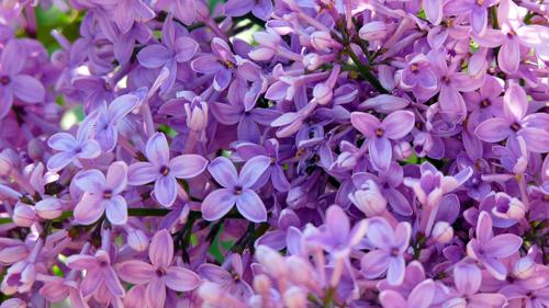 lillaserenella (1)