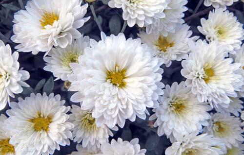 crisantemi-12