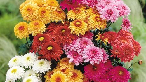 crisantemi-14