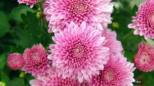 crisantemi-3
