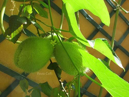 zucchine-spinose-13-f