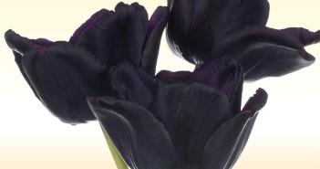 Il tulipano nero 800